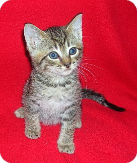 Domestic Shorthair Kitten for adoption in Yakima, Washington - Rez Kitten #1