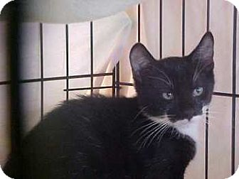 Domestic Shorthair Kitten for adoption in Lunenburg, Massachusetts - Bo