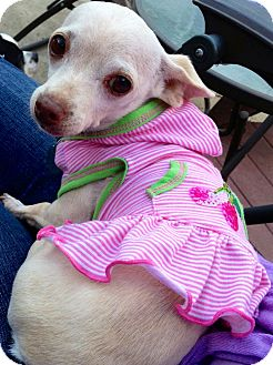 Chihuahua Mix Dog for adoption in San Diego, California - Tara