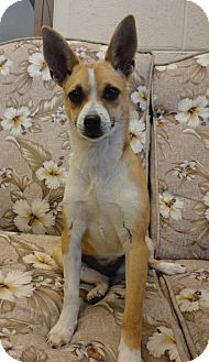 Basenji/Chihuahua Mix Dog for adoption in Homewood, Alabama - Roxy