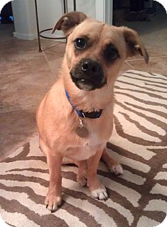 Pug/Beagle Mix Dog for adoption in Phoenix, Arizona - Max