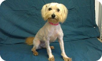 Maltese/Terrier (Unknown Type, Small) Mix Dog for adoption in Waldorf, Maryland - Precious