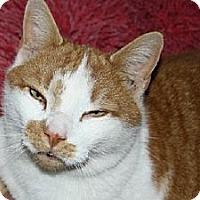 Domestic Shorthair Cat for adoption in Jenkintown, Pennsylvania - Simon