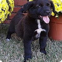 Adopt A Pet :: *Denzel - PENDING - Westport, CT