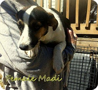 Chihuahua/Rat Terrier Mix Dog for adoption in Danbury, Connecticut - Madi