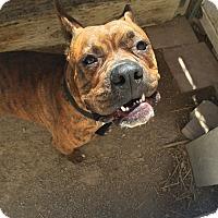 Adopt A Pet :: Rufus2 - Las Vegas, NV