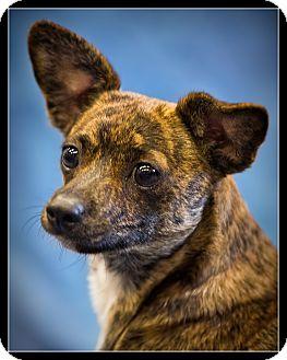 Wickenburg Az Dachshund Mix Meet Tigger A Dog For Adoption