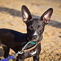 Adopt A Pet :: Black Jack - Orange, CA
