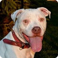 Adopt A Pet :: Suzy Snowflake - Chicago, IL