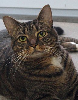Domestic Shorthair Cat for adoption in Greenville, North Carolina - Dowdy