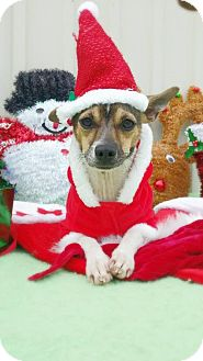 Rat Terrier/Chihuahua Mix Dog for adoption in Baton Rouge, Louisiana - Remington