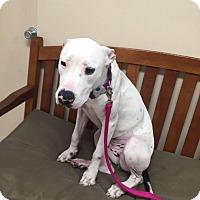 Adopt A Pet :: Maddie - Las Vegas, NV