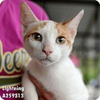 Adopt A Pet :: LIGHTNING - Conroe, TX