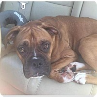 Adopt A Pet :: Brodie - Brentwood, TN