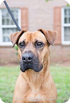 Boxer Mix Dog for adoption in Lockport, New York - Liberty