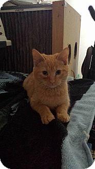 Domestic Shorthair Kitten for adoption in Virginia Beach, Virginia - Oscar