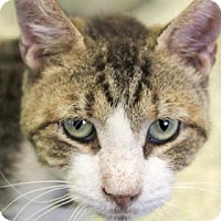 Domestic Shorthair Cat for adoption in Indianapolis, Indiana - Frankfurter