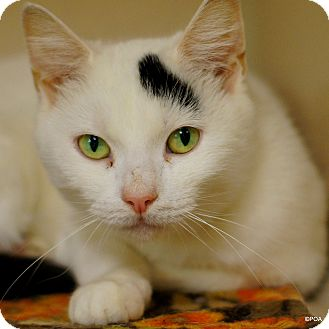 Domestic Shorthair Cat for adoption in East Hartford, Connecticut - Bethany
