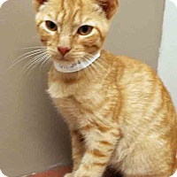Domestic Shorthair Kitten for adoption in Plainfield, Illinois - Jasper