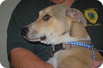 Labrador Retriever/Shepherd (Unknown Type) Mix Dog for adoption in Willingboro, New Jersey - Casey