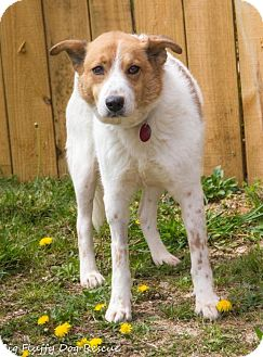Shepherd (Unknown Type) Mix Dog for adoption in Enfield, Connecticut - MooMoo