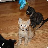 Domestic Shorthair Kitten for adoption in St. Louis, Missouri - Teke