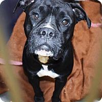 Adopt A Pet :: Boxer/Pit male X - San Jacinto, CA