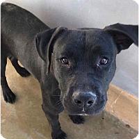 Adopt A Pet :: Uno - Staunton, VA