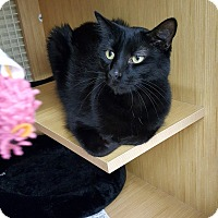Domestic Mediumhair Cat for adoption in Chicago, Illinois - Fiji
