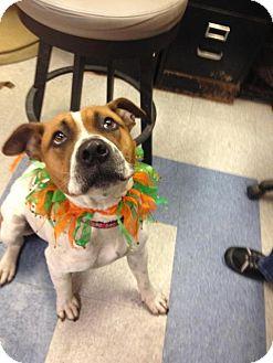 Boxer/Affenpinscher Mix Dog for adoption in Saginaw, Michigan - Mack