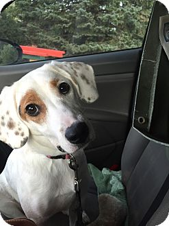 Hound (Unknown Type)/Terrier (Unknown Type, Medium) Mix Dog for adoption in ST LOUIS, Missouri - Dayzee