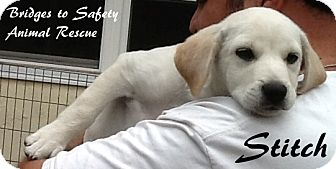 Golden Retriever Mix Puppy for adoption in Toms River, New Jersey - Stitch