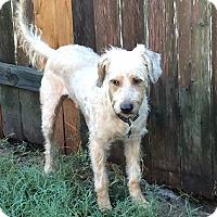 Wheaten Terrier Mix Dog for adoption in Houston, Texas - Brewster Rio