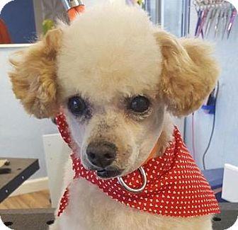Miniature Poodle Dog for adoption in Colorado Springs, Colorado - Dean