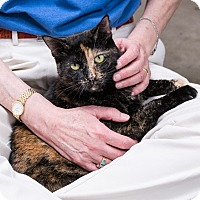 Domestic Shorthair Cat for adoption in Houston, Texas - Camille