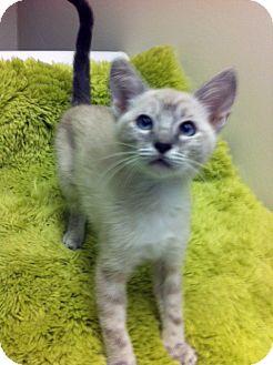 Siamese Kitten for adoption in Irvine, California - Pearl