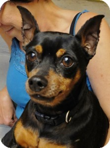 Miniature Pinscher Dog for adoption in Medford, Massachusetts - Prince