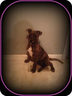American Bulldog/Shepherd (Unknown Type) Mix Puppy for adoption in Indian Trail, North Carolina - Brindle