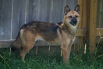 Shepherd (Unknown Type)/German Shepherd Dog Mix Dog for adoption in Jackson, Mississippi - Wally Cleaver