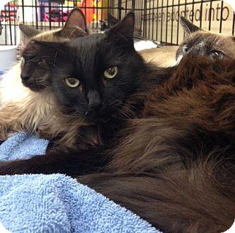 Domestic Longhair Cat for adoption in Walnut Creek, California - Nu-oir