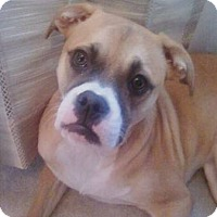 Adopt A Pet :: Girl Boxer - Sneads Ferry, NC