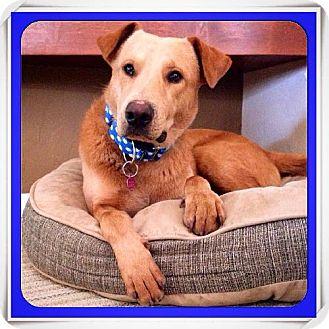 Labrador Retriever Mix Dog for adoption in Tucson, Arizona - Wilbur