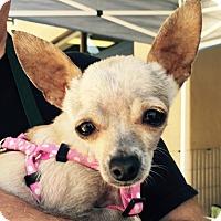 Adopt A Pet :: Prissy - San Diego, CA