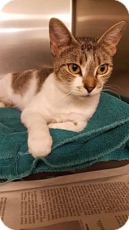 Domestic Shorthair Cat for adoption in Windsor, Virginia - Martha