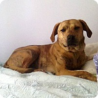 Mountain Cur/Labrador Retriever Mix Dog for adoption in Gilbert, Arizona - Sierra