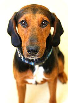 Redbone Coonhound/Coonhound Mix Dog for adoption in Staunton, Virginia - Red