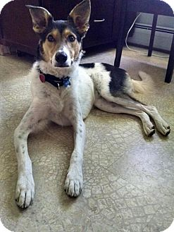 Collie/Border Collie Mix Dog for adoption in Hewitt, New Jersey - Nate Adoption Pending Congrats Jeffrey!