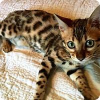 Adopt A Pet :: I'M ADOPTED Bengals