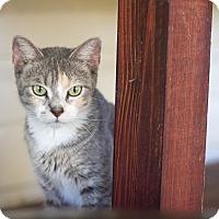 Domestic Shorthair Cat for adoption in Huntington, West Virginia - Sadie
