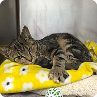 Adopt A Pet :: Jinx - Lakewood, CO